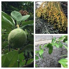 #citron #pamplemousse et #dattes du jardin; ça pousse ! #instafruit #LaReunion #team974 by energy_rh