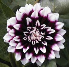 """Zayn as flowers na Twitterze: """"Dahlia http://t.co/YvS29kVSfy"""""""