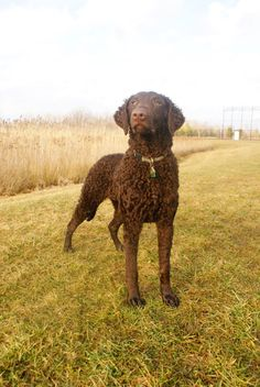 Curly Coated Retriever - The first of the waterfowl retrieving breeds, the Curly-Coated Retriever is of British origin. Its likeness is depicted in sporting works of art dating back 300 years. At one time, the Curly Coat was the gamekeeper's favorite hunting dog.