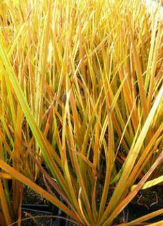 Libertia ixioides Familia:Iridaceae Origen:N.Zelanda Compacta Perenne Época/Floración:IV/VI Color floración:Libertia ixioides Altura (cm): 30/40 Anchura (cm): 30/40 Temperatura: -9ºC Zona 8 Prefiere sol pero tolera media sombra Muy resistente a la sequedad