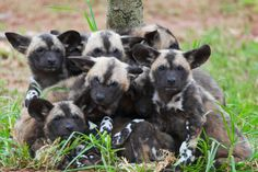 One of my favorite wild animals. African wild dog pups | african painted dog puppies african wild dogs live in packs