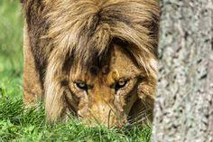 Lion, Animaux, Leo, Lions