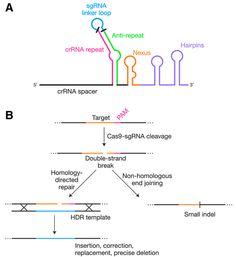 The CRISPR craze: genome editing technologies poised to revolutionize medicine and industry