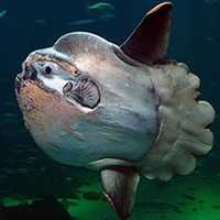 """3rd Badge: Mola.   With so much surface area, the mola often becomes so encrusted with parasites that it allows small fish and even birds to feed off its body. They like to bask in the sun near the surface of the water, and are often mistaken for sharks with their huge white dorsal fins! Mola is the scientific name for the more common """"sunfish""""."""