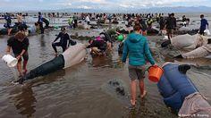 Voluntarios se esfuerzan por mantener con vida a noventa ballenas.