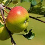 Kedy strihať jablone