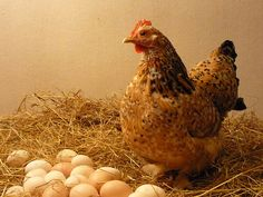 Why Chickens Stop Laying Eggs in the Winter