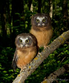 Young Northern Saw-Whet Owls
