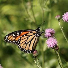 #butterflies Monarch photographed by Nathan Dubrow at Crane Beach and Castle Hill in Ipswich Essex County Massachusetts http://ift.tt/2vbJUs1 http://ift.tt/2uCDSnk #insectagram #flowers #macro