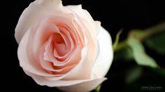 Pink Rose in Studio