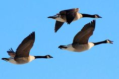 goose hunting | All Turkey & Waterfowl Articles (310)