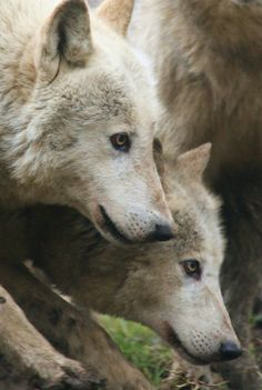 Concentration. Wolves (Canis lupus).