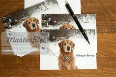 Christmas Cards with Photograph of Golden Retriever on Front ...