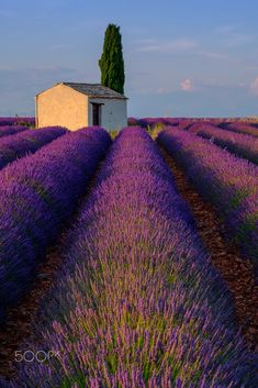 Lavender field in plateau Valensole by Anton Gvozdikov on 500px