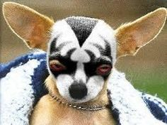 OMG!....KISS Chihuahua don't mess with me bro. Cute Chihuahua, Chihuahua Puppies, Dogs And Puppies, Chihuahuas, Doggies, Chihuahua Quotes, Chihuahua Breeds, Teacup Chihuahua, Baby Dogs
