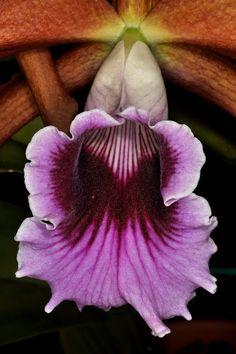 Cattleya tenebrosa - F. Shull