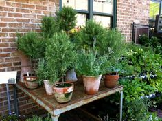 Small rosemary plants make a wonderful gift. Tuck in a few recipes like rosemary roasted potatoes or chicken kabobs on rosemary skewers. Rosemary Garden, Rosemary Plant, Rosemary Christmas Tree, Christmas Trees, Rosemary Roasted Potatoes, Growing Moss, Balcony Garden, Topiary, Native Plants