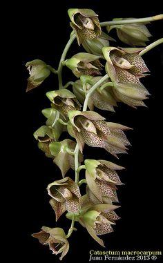 Ctsm. macrocarpum. | JuanFGomez | Flickr