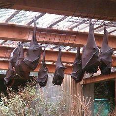 sleeping hanging bats.  Flying Foxes.