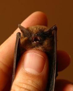 ADORABLE LITTLE BROWN BAT?