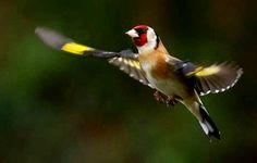 La splendeur du Chardonneret en plein vol #الحسون #المقنين #القرديل #Chardonnerert #Canari #Mulet #MuletOiseau #Oiseau #Birds #Animaux #Goldfich #Jilguero #Cardellino #καρδερίνα #Sakakuşu #Chien #Chat #Pigeon #Cheval #Science #Reptile #Poisson #Plantes #Hibiscus #Alger #Algérie #Tunisie #Maroc #ChardonneretGolden #BilelKios