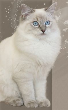 beautiful Ragdoll
