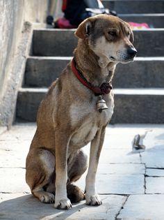 Awesome Street Dog In Kathmandu