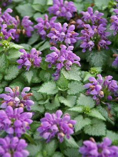Lamium Orchid Frost - Radiant silver leaves with narrow green margins and very complementary hooded, soft orchid flowers. An unusual, very pretty effect. An eye-catching groundcover even when not in bloom.