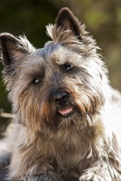 Cairn Terrier by Don Hooper - Photo 167900591 - Terrier Dog Breeds, Cairn Terriers, Terrier Puppies, Scottish Terriers, Big Dogs, Cute Dogs, Dogs And Puppies, Doggies, Most Beautiful Dog Breeds