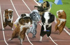 Passing the baton: These furry creatures, featuring in December, appear worn out as they take part in the Olympic relay