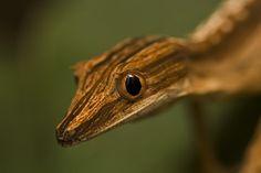 Uroplatus lineatus #geckos #lizards #reptiles #herpetology