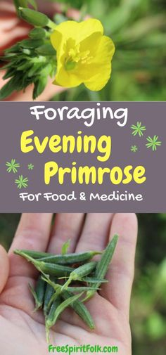 Evening Primrose for Food & Medicine Foraging Evening Primrose for Food & Medicine.Foraging Evening Primrose for Food & Medicine. Primrose Plant, Medicinal Weeds, Edible Wild Plants, Herbs For Health, Wild Edibles, All Nature, Healing Herbs, Natural Healing, Planting Succulents