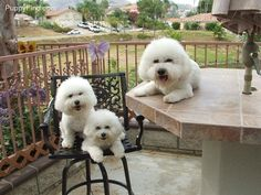 Bichon Frise's ~ AWESOME dogs!!