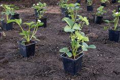 Duben je ideálním měsícem pro výsadbu jahodníků. A současné teplé počasí zakládání jahodových záhonů přímo nahrává. Jak připravit půdu, jako vybrat odrůdu, jak jahody hnojit a mulčovat?
