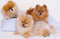 These are some of the best #Pomeranian #pictures that you should have a look at. These Pomeranian pictures wil insist you to adopt a Pomeranian as soon as possible.for more details visit www.puppiescafe.com