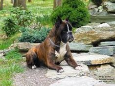 Beautiful boxer dog with all the coat colors - brindle, fawn, reverse brindle and a bit of flash. Outstanding...