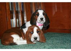 Aggie and Sophie Basset hounds