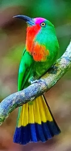 The Bee-Eaters are a group of near-passerine birds in the family Meropidae. Most species are found in Africa and Asia but others occur in southern Europe, Australia, and New Guinea