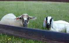 Sheep and Goat Program | University of Maryland Extension