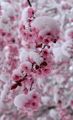 Oh Frühling, wo bist du? Foto von Suzanne G. Flower Wallpaper, Wallpaper Backgrounds, Cherry Blossom Wallpaper Iphone, I Love Winter, Winter Snow, Winter Scenery, Winter Flowers, Winter Colors, Peach Blossoms