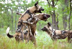 Enciclopedia animal | Animales de la sabana - Licaón o perro salvaje africano
