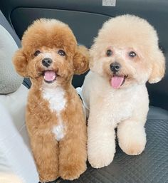 Poodles are considered to be the best breeds to own as there are extremely sensitive and much attached. Poodle puppies are one of the cutest and eye-catching puppies ever. #poodlepuppy #poodlepuppytraining #poodlepuppies #cutepoodlepuppies #dogsandpuppiespoodle #dogsandpuppies #cutedogs Poodle Mix Puppies, Dogs And Puppies, Poodles, Cute Dogs, Eye, Standard Poodles, Poodle, Funny Dogs, Cockapoo