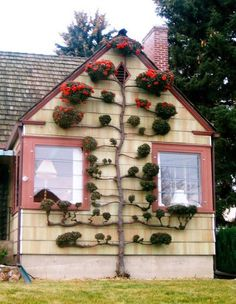 Firethorn (Pyracantha) Tree Espalier. The Firethorn is an evergreen that is easy to grow and provides seasonal interest and berries. An espalier is a fruit tree or ornamental shrub whose branches are trained to grow flat against a wall, supported on a lattice or a framework of stakes.
