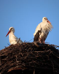 White storks in the nest, Poland Beautiful Birds, Bald Eagle, Storks, Poland, Nest, Photography, Nest Box, Photograph, Fotografie