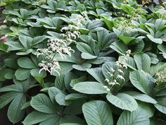 Another Rodgersia aesculifolia Short Plants, Big Plants, Types Of Plants, Plants That Like Shade, Woodland Plants, Stipa, Garden Design Plans, Chestnut Horse, Big Leaves
