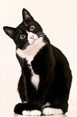 schwarz - weiße Katze