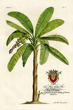 Banana Tree. Ehret Botanical Prints from The Natural History of Barbados 1750.
