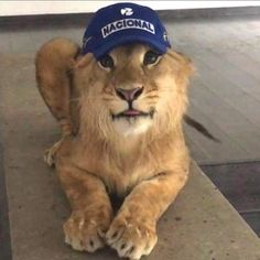 Lion in hat blep. From BJWT