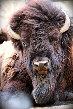 Take a look at these beautiful animals & # Face. Buffalo Animal, Buffalo Art, Buffalo Painting, Nature Animals, Animals And Pets, Cute Animals, Wild Animals, Wildlife Photography, Animal Photography