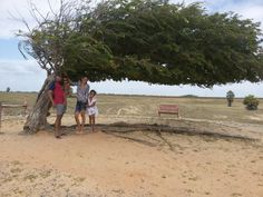 Árvore Penteada Litoral Piauiense